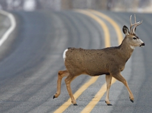 deer_on_roadshutterstock_111051494